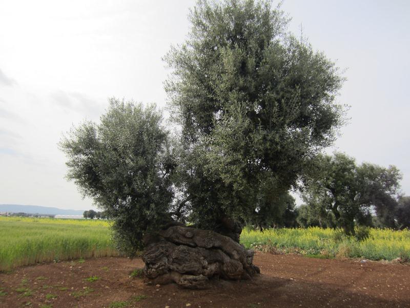 Un ulivo, un monumento come tutti gli altri, a Savelletri (Fasano)