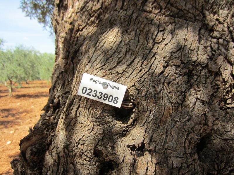 L'etichetta della Regione Puglia, sugli ulivi secolari.