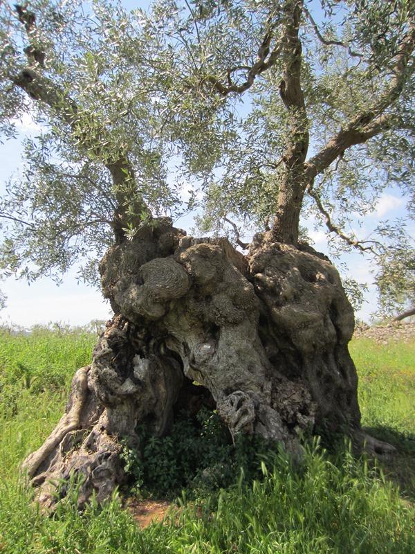 Un imponente ulivo secolare della Masseria Giummetta