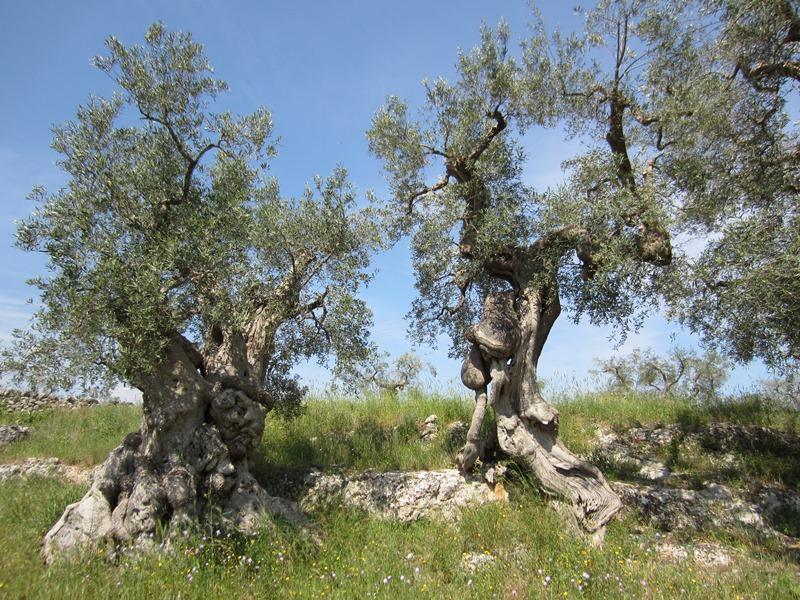 """Gli ulivi sulla roccia... meravigliosa ostinazione di """"voler vivere"""""""
