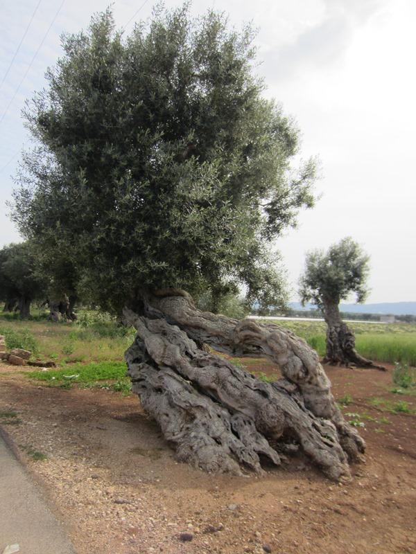 Come la natura ha scolpito ogni singolo ulivo.