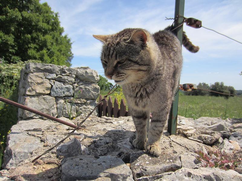 Il gatto (uno tra gli altri) che dà l'accoglienza ai visitatori della Chiesetta di Barsento