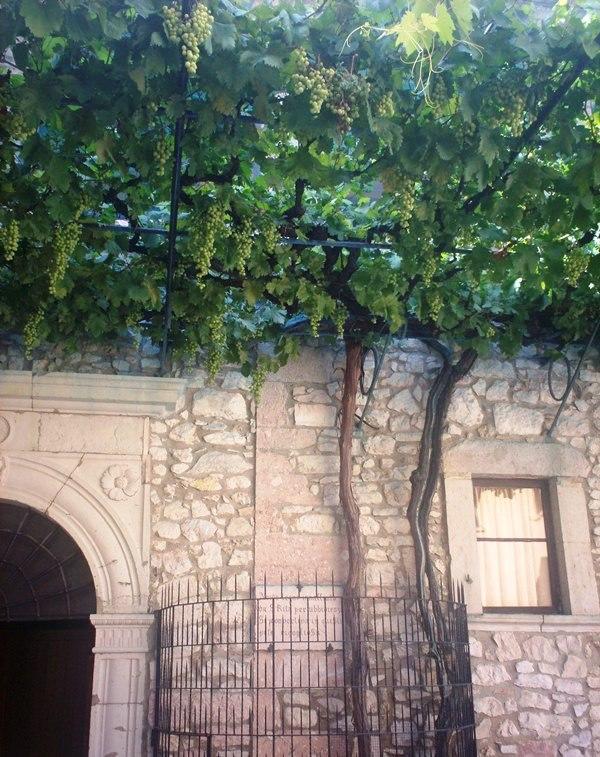 La vite prodigiosa nel Monastero di Santa Rita