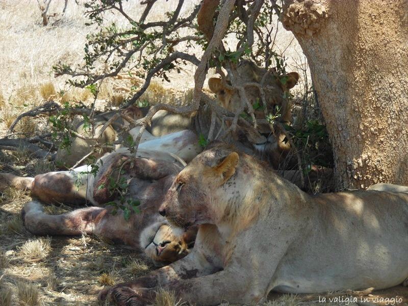 I leoni del Kenya